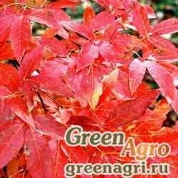 Клен трехцветковый ( Acer triflorum) 30 гр.