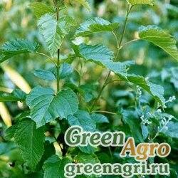 Клен татарский (Acer tataricum) 280 гр.