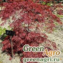 Клен дланевидный ф. пурпурнолистный (Acer palmatum f. atropurpurea) 10 гр.