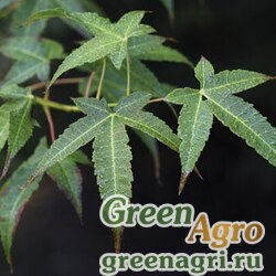 Клен элегантный (Acer elegantulum) 30 гр.