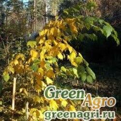 Клен Гроссера (Acer grosseri) 25 гр.