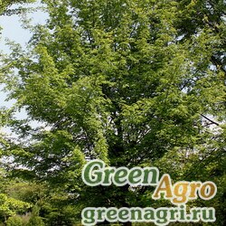 "Клен сахарный (Acer saccharum) ""LA d.w."" (без крылаток) 10 гр."