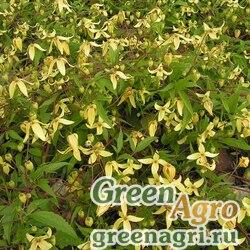 Клематис пильчатолистный (Clematis serratifolia) 10 гр.