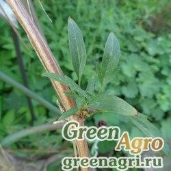Клематис тангутский (Clematis tangutica) 10 гр.