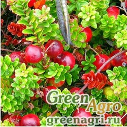 """Клюква крупноплодная (Vaccinium macrocarpum) """"McFarlin"""" 2 гр."""