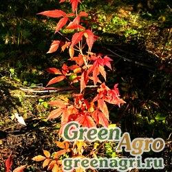 Клен манчжурский (Acer mandshuricum) 30 г