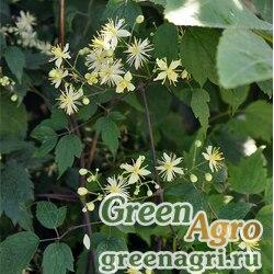 Клематис короткохвостый (Clematis brevicaudata) 20 гр.