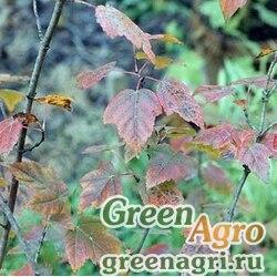 Клен Гиннала/приречный (Acer ginnala) 100 гр.