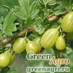 Крыжовник отклоненный (Grossularia reclinata) 6 гр.