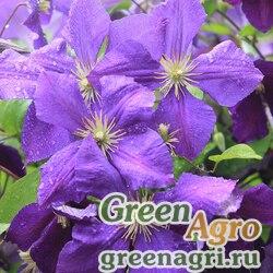 Клематис фиолетовый (Сlematis viticella) 5 гр.
