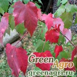Клен красный (Acer rubrum) 25 гр.