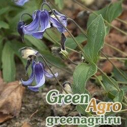 Клематис цельнолистный (Clematis integrifolia) 3 гр.