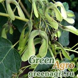 Клен величественный (Acer velutinum) 150 гр.