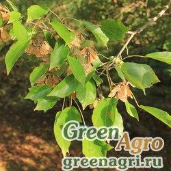 Клен Бургера (Acer buergerianum) 50 гр.