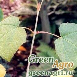Клен зеленокорый (Acer tegmentosum) 25 гр.