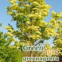 Клен Друммонда (Acer drummondii) 7 гр.