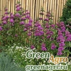 """Монарда гибридная (Monarda hybrida) """"Bergamo"""" (violet) Raw 1000 шт."""