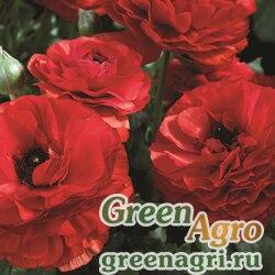 Лютик азиатский Ranunculus asiaticus Mache F1 red Pelleted 1000