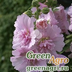 Мальва Штокроза розовая Alcea rosea annua Spring Celebrities Pink Raw 1000