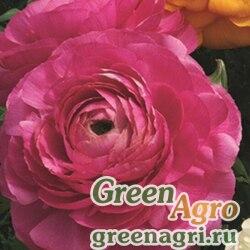 Лютик азиатский Ranunculus asiaticus Magic F1 rose Pelleted 1000