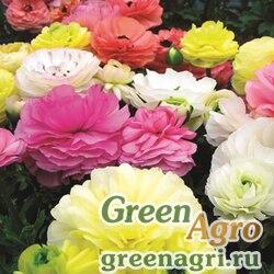 Лютик азиатский Ranunculus asiaticus Mache F1 pastel mix Pelleted 1000