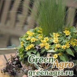 Меламподиумболотный Melampodium paludosum Golden Globe Golden Raw 1000