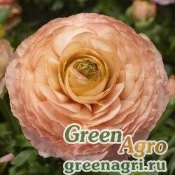 Лютик азиатский Ranunculus asiaticus Magic F1 pink and peach Pelleted 1000