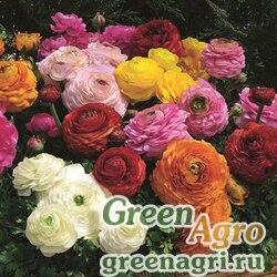 """Лютик азиатский (Ranunculus asiaticus) """"Magic F1"""" (mix) pelleted 1000 шт."""
