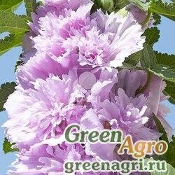 Мальва Штокроза розовая Alcea rosea annua Spring Celebrities Lilac Raw 1000