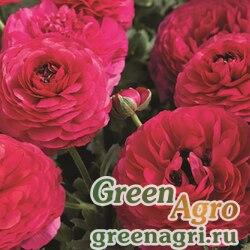 Лютик азиатский Ranunculus asiaticus Mache F1 rose Pelleted 1000
