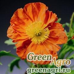 "Мак голостебельный (Papaver nudicaule) ""Pulchinella"" (orange) Raw 1000 шт."