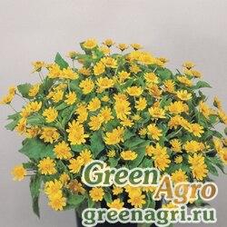 Меламподиумболотный Melampodium paludosum Derby Golden Raw 1000