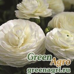 Лютик азиатский Ranunculus asiaticus Mache F1 white Pelleted 1000