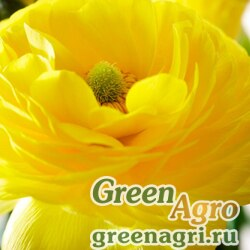 Лютик азиатский Ranunculus asiaticus Mache F1 yellow Pelleted 1000