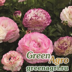 Лютик азиатский Ranunculus asiaticus Mache F1 bicolor mix Pelleted 1000