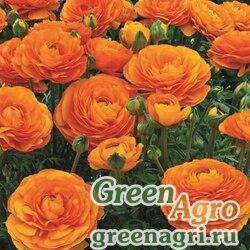 Лютик азиатский Ranunculus asiaticus Mache F1 orange Pelleted 1000