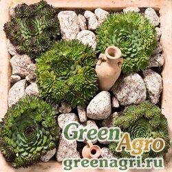 "Молодило (Sempervivum) ""Hardy Perennial Species"" (mix) raw 1000 шт."