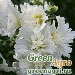 Мальва Штокроза розовая Alcea rosea annua Spring Celebrities White Raw 1000