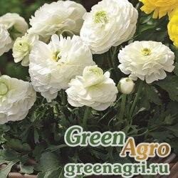 Лютик азиатский Ranunculus asiaticus Magic F1 white Pelleted 1000