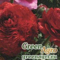 Лютик азиатский Ranunculus asiaticus Magic F1 red imp. Pelleted 1000