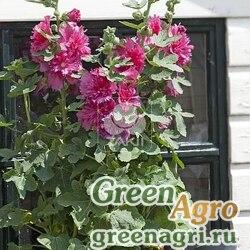 Мальва Штокроза розовая Alcea rosea annua Spring Celebrities Carmine-rose Raw 1000
