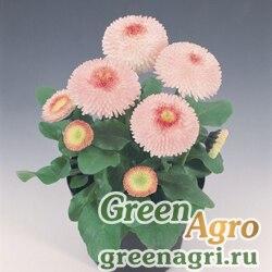"Маргаритка многолетняя (Bellis perennis) ""Tasso"" (strawberries & cream) raw 1000 шт."