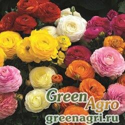"Лютик азиатский (Ranunculus asiaticus) ""Mache F1"" (mix) Pelleted 1000 шт."