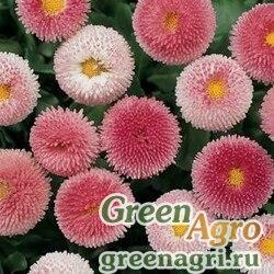 """Маргаритка многолетняя (Bellis perennis) """"Bellissima"""" (rose bicolor) pelleted 500 шт."""