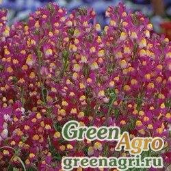 Льнянка гибридная Linaria hybrida ENCHANTMENT PURPLE YELLOW Multi-pelleted 100