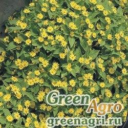 Меламподиумболотный Melampodium paludosum Showstar Deep yellow Raw 1000
