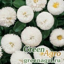 "Маргаритка многолетняя (Bellis perennis) ""Bellissima"" (white) pelleted 500 шт."