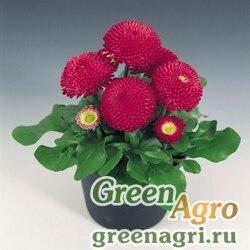 """Маргаритка многолетняя (Bellis perennis) """"Tasso"""" (deep rose) raw 1000 шт."""