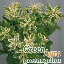 """Молочай окаймленный (Euphorbia marginata) """"Kilimanjaro"""" (green) Raw 1000 шт."""