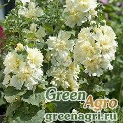 Мальва Штокроза розовая Alcea rosea annua Spring Celebrities Lemon Raw 1000